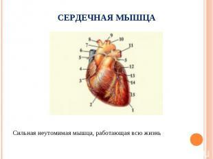 Сильная неутомимая мышца, работающая всю жизнь Сильная неутомимая мышца, работаю
