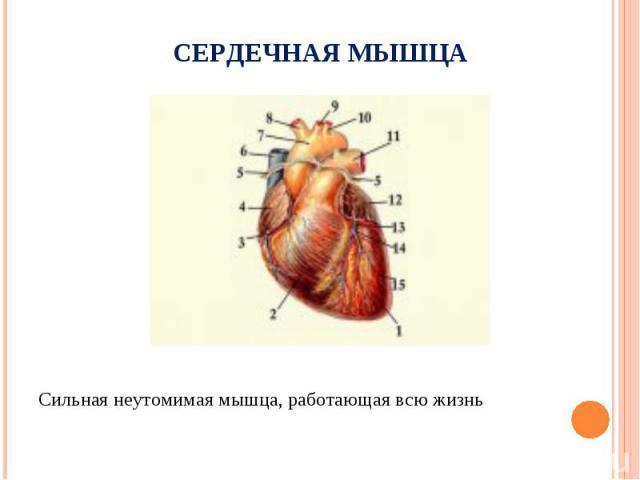Сильная неутомимая мышца, работающая всю жизнь Сильная неутомимая мышца, работающая всю жизнь