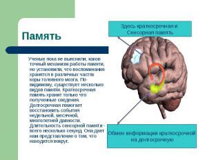 Ученые пока не выяснили, каков точный механизм работы памяти, но установили, что
