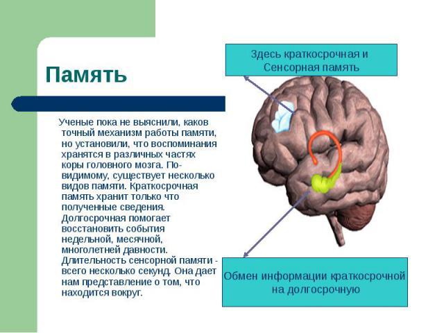 Ученые пока не выяснили, каков точный механизм работы памяти, но установили, что воспоминания хранятся в различных частях коры головного мозга. По-видимому, существует несколько видов памяти. Краткосрочная память хранит только что полученные сведени…
