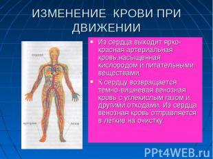 Из сердца выходит ярко-красная артериальная кровь,насыщенная кислородом и питате