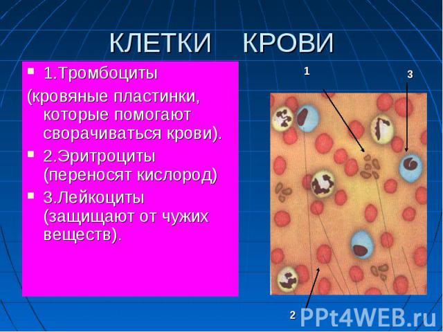 1.Тромбоциты 1.Тромбоциты (кровяные пластинки, которые помогают сворачиваться крови). 2.Эритроциты (переносят кислород) 3.Лейкоциты (защищают от чужих веществ).