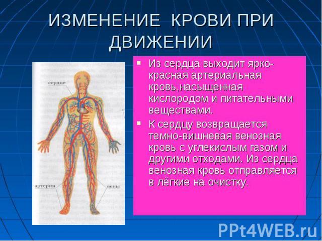 Из сердца выходит ярко-красная артериальная кровь,насыщенная кислородом и питательными веществами. Из сердца выходит ярко-красная артериальная кровь,насыщенная кислородом и питательными веществами. К сердцу возвращается темно-вишневая венозная кровь…