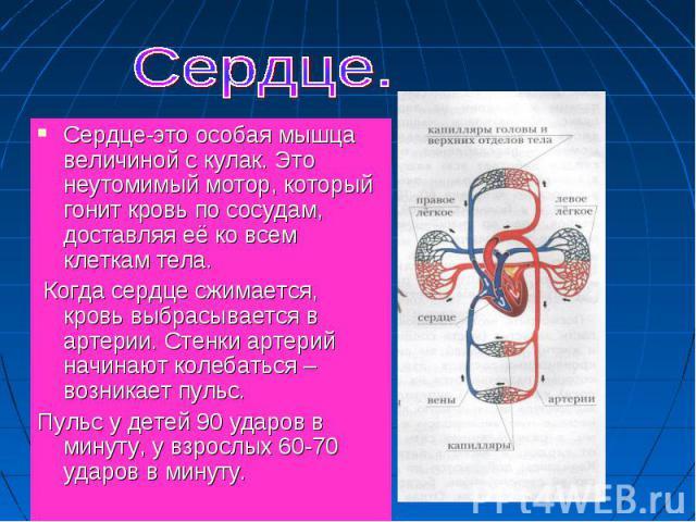 Сердце-это особая мышца величиной с кулак. Это неутомимый мотор, который гонит кровь по сосудам, доставляя её ко всем клеткам тела. Сердце-это особая мышца величиной с кулак. Это неутомимый мотор, который гонит кровь по сосудам, доставляя её ко всем…