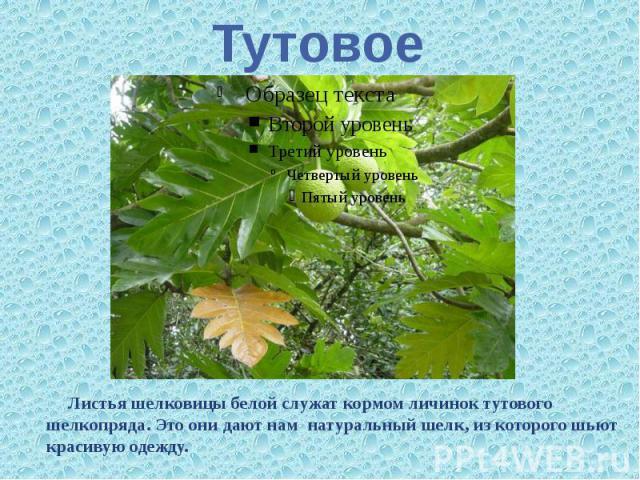 Тутовое Листьяшелковицы белой служат кормом личинок тутового шелкопряда. Это они дают нам натуральный шелк, из которого шьют красивую одежду.