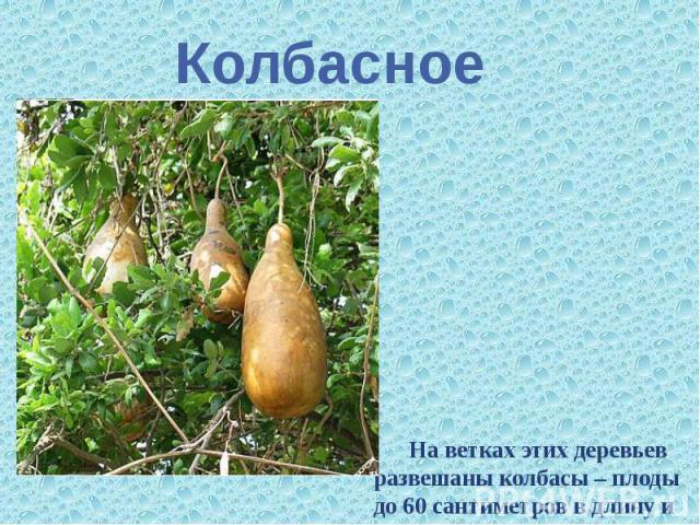 Колбасное На ветках этих деревьев развешаны колбасы – плоды до 60 сантиметров в длину и 20 сантиметров в диаметре.