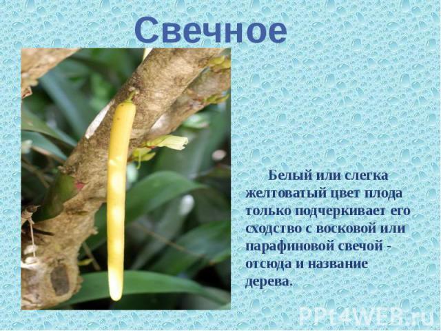 Свечное Белый или слегка желтоватый цвет плода только подчеркивает его сходство с восковой или парафиновой свечой - отсюда и название дерева.