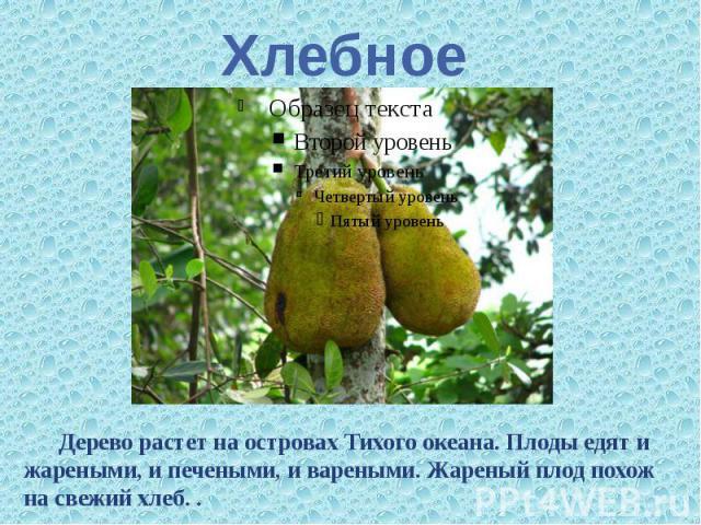 Хлебное Дерево растет на островах Тихого океана. Плоды едят и жареными, и печеными, и вареными. Жареный плод похож на свежий хлеб. .
