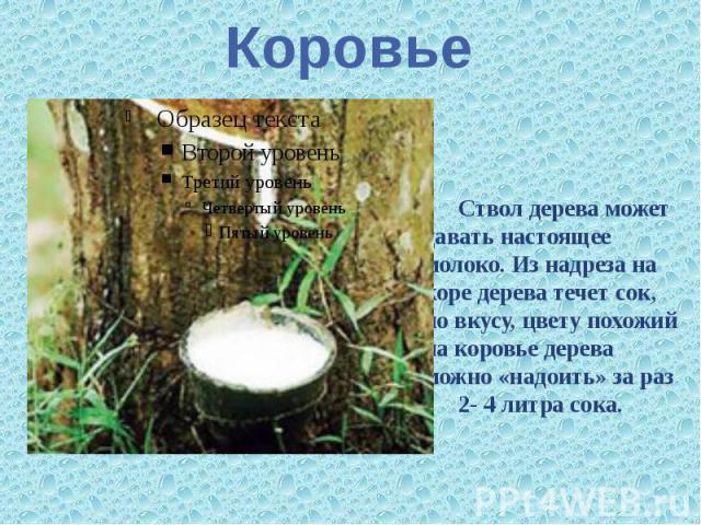 Коровье Ствол дерева может давать настоящее молоко. Из надреза на коре дерева течет сок, по вкусу, цвету похожий на коровье дерева можно «надоить» за раз 2- 4 литра сока.
