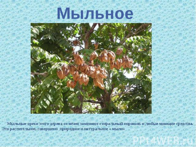 Мыльное Мыльные орехи этого дерева отлично заменяют стиральный порошок и любые моющие средства. Это растительное, совершено природное и натуральное « мыло»