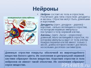 Нейрон состоит из тела и отростков. Различают два типа отростков: дендриты и акс