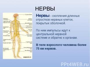 Нервы - скопления длинных Нервы - скопления длинных отростков нервных клеток, по