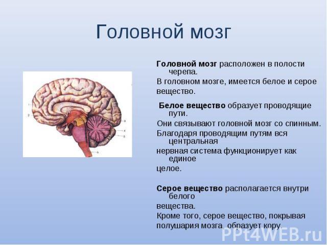 Головной мозг расположен в полости черепа. Головной мозг расположен в полости черепа. В головном мозге, имеется белое и серое вещество. Белое вещество образует проводящие пути. Они связывают головной мозг со спинным. Благодаря проводящим путям вся ц…