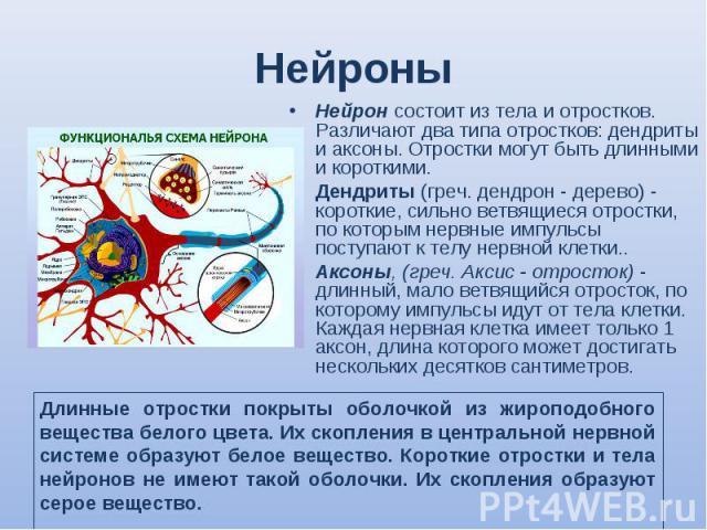 Нейрон состоит из тела и отростков. Различают два типа отростков: дендриты и аксоны. Отростки могут быть длинными и короткими. Нейрон состоит из тела и отростков. Различают два типа отростков: дендриты и аксоны. Отростки могут быть длинными и коротк…