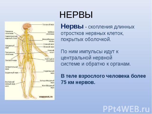 Нервы - скопления длинных Нервы - скопления длинных отростков нервных клеток, покрытых оболочкой. По ним импульсы идут к центральной нервной системе и обратно к органам. В теле взрослого человека более 75 км нервов.