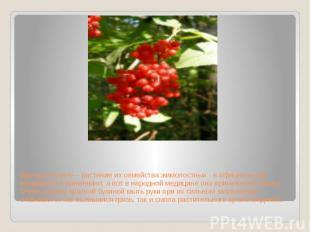 Красную бузину – растение из семейства жимолостных - в официальной медицине не п