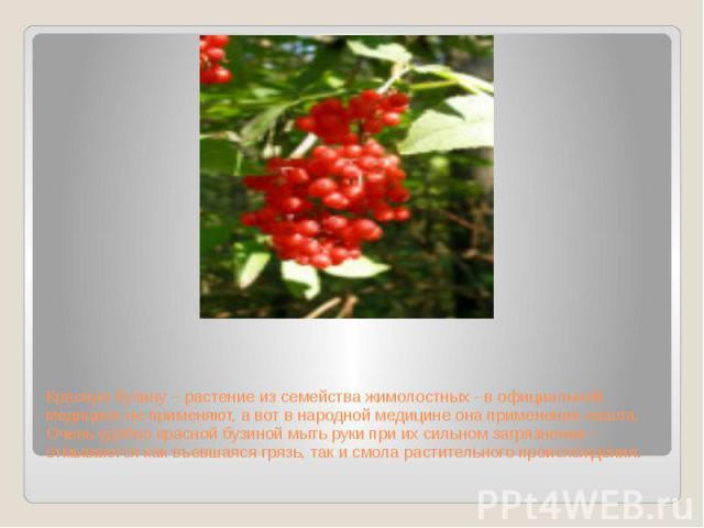 Красную бузину – растение из семейства жимолостных - в официальной медицине не применяют, а вот в народной медицине она применение нашла. Очень удобно красной бузиной мыть руки при их сильном загрязнении – отмываются как въевшаяся грязь, так и смола…
