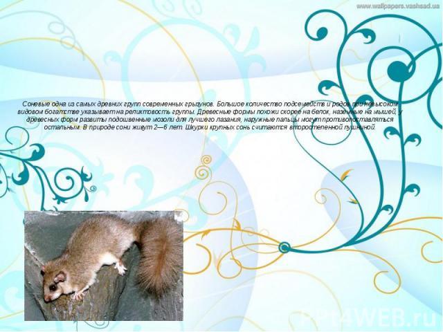 Соневые одна из самых древних групп современных грызунов. Большое количество подсемейств и родов при невысоком видовом богатстве указывает на реликтовость группы. Древесные формы похожи скорее на белок, наземные на мышей, у древесных форм развиты по…