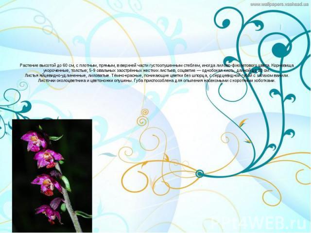 Растение высотой до 60см, с плотным, прямым, в верхней части густоопушенным стеблем, иногда лилово-фиолетового цвета. Корневища укороченные, толстые; 5-9 овальных заострённых жестких листьев, соцветие— однобокая кисть, длиной до 20…