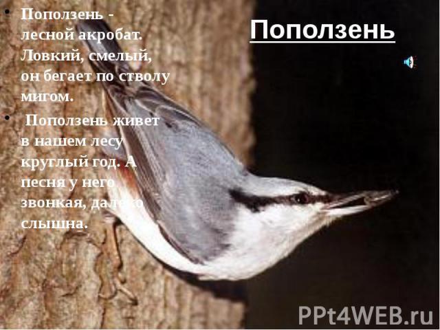 Поползень Поползень - лесной акробат. Ловкий, смелый, он бегает по стволу мигом. Поползень живет в нашем лесу круглый год. А песня у него звонкая, далеко слышна.