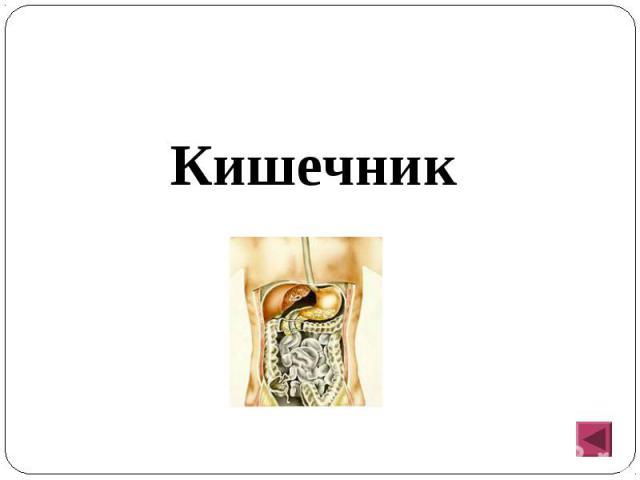 Кишечник Кишечник