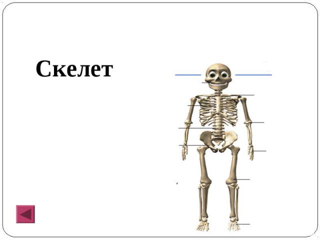 Скелет Скелет