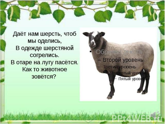 Даёт нам шерсть, чтоб мы оделись, В одежде шерстяной согрелись. В отаре на лугу пасётся. Как то животное зовётся?