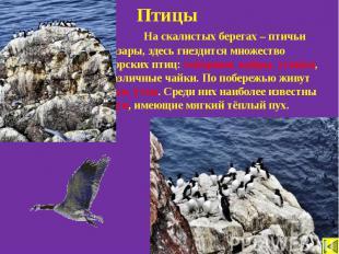 Птицы На скалистых берегах – птичьи базары, здесь гнездится множество морских пт