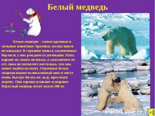 Белый медведь Белые медведи – самые крупные и сильные животные Арктики, на них н
