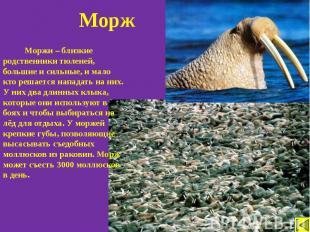 Моржи – близкие родственники тюленей, большие и сильные, и мало кто решается нап