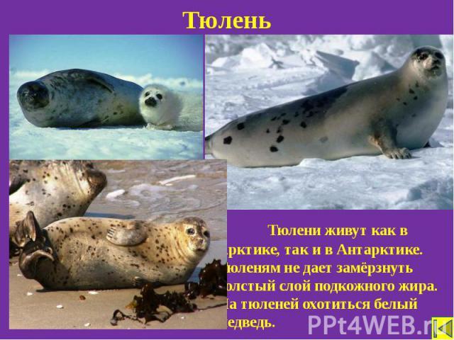 Тюлень Тюлени живут как в Арктике, так и в Антарктике. Тюленям не дает замёрзнуть толстый слой подкожного жира. На тюленей охотиться белый медведь.