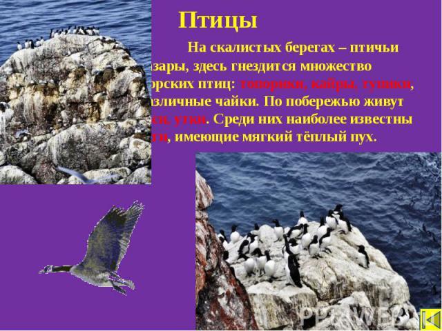 Птицы На скалистых берегах – птичьи базары, здесь гнездится множество морских птиц: топорики, кайры, тупики, различные чайки. По побережью живут гуси, утки. Среди них наиболее известны гаги, имеющие мягкий тёплый пух.