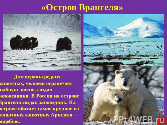 «Остров Врангеля» Для охраны редких животных, человек ограничил рыбную ловлю, создал заповедники. В России на острове Врангеля создан заповедник. На острове обитает самое крупное из копытных животных Арктики – овцебык.
