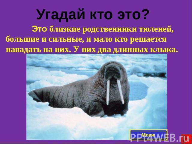 Это близкие родственники тюленей, большие и сильные, и мало кто решается нападать на них. У них два длинных клыка. Это близкие родственники тюленей, большие и сильные, и мало кто решается нападать на них. У них два длинных клыка.