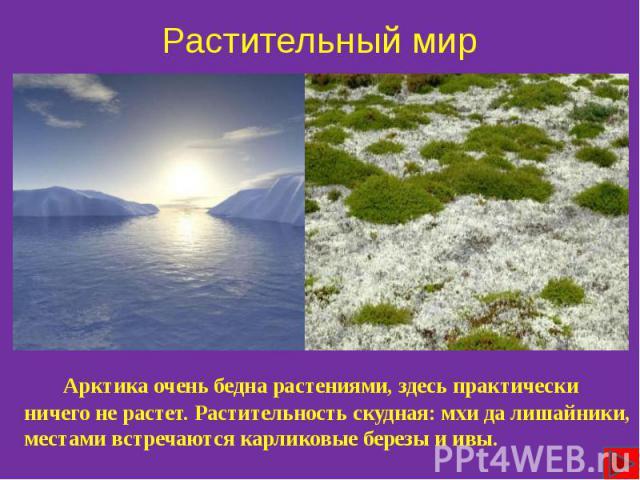 Растительный мир Арктика очень бедна растениями, здесь практически ничего не растет. Растительность скудная: мхи да лишайники, местами встречаются карликовые березы и ивы.