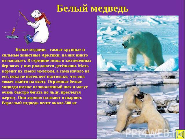 Белый медведь Белые медведи – самые крупные и сильные животные Арктики, на них никто не нападает. В середине зимы в заснеженных берлогах у них рождаются детёныши. Мать кормит их своим молоком, а сама ничего не ест, пока не потеплеет настолько, что о…