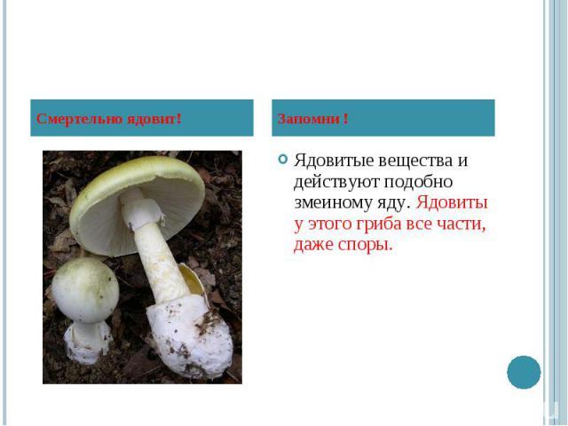 Ядовитые вещества и действуют подобно змеиному яду. Ядовиты у этого гриба все части, даже споры. Ядовитые вещества и действуют подобно змеиному яду. Ядовиты у этого гриба все части, даже споры.