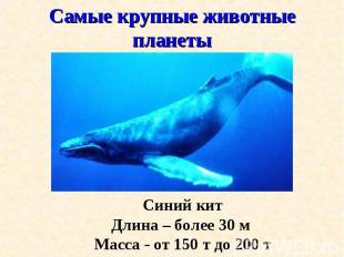 Синий кит Синий кит Длина – более 30 м Масса - от 150 т до 200 т