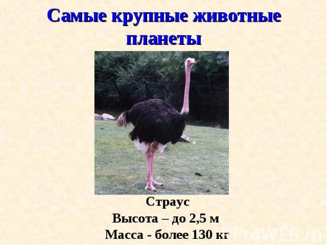 Страус Страус Высота – до 2,5 м Масса - более 130 кг