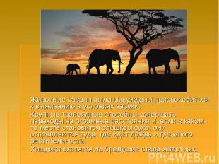 Животные саванн были вынуждены приспособиться к выживанию в условиях засухи. Жив