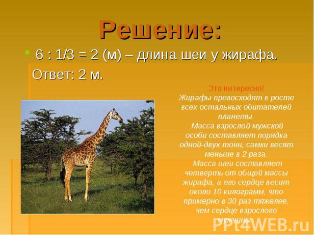 6 : 1/3 = 2 (м) – длина шеи у жирафа. 6 : 1/3 = 2 (м) – длина шеи у жирафа. Ответ: 2 м.