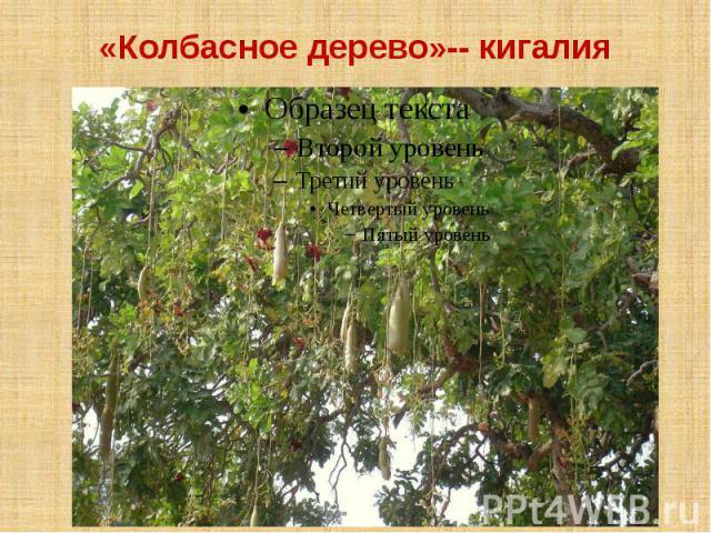 «Колбасное дерево»-- кигалия