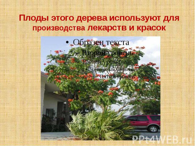 Плоды этого дерева используют для производства лекарств и красок
