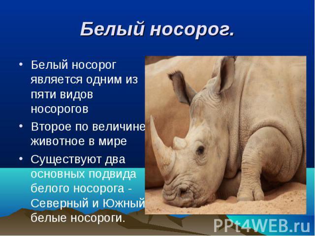 Белый носорог является одним из пяти видов носорогов Белый носорог является одним из пяти видов носорогов Второе по величине животное в мире Существуют два основных подвида белого носорога - Северный и Южный белые носороги.