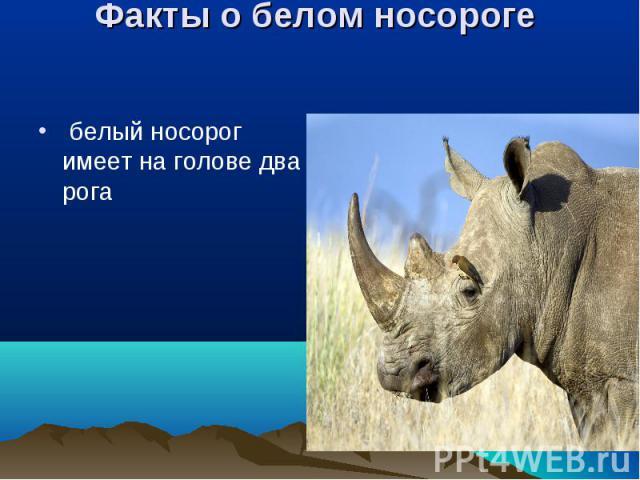 белый носорог имеет на голове два рога белый носорог имеет на голове два рога