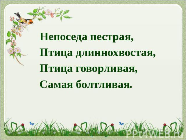 Непоседа пестрая, Непоседа пестрая, Птица длиннохвостая, Птица говорливая, Самая болтливая.