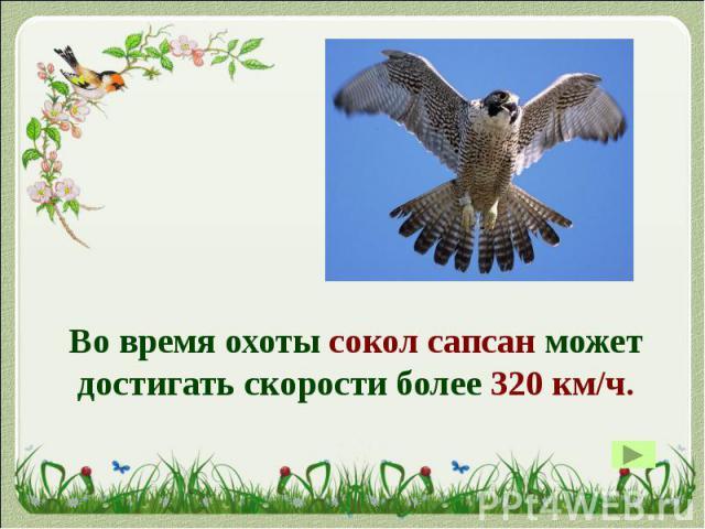 Во время охоты сокол сапсан может достигать скорости более 320 км/ч. Во время охоты сокол сапсан может достигать скорости более 320 км/ч.