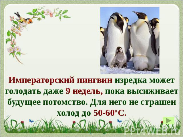 Императорский пингвин изредка может голодать даже 9 недель, пока высиживает будущее потомство. Для него не страшен холод до 50-60ºС. Императорский пингвин изредка может голодать даже 9 недель, пока высиживает будущее потомство. Для него не страшен х…