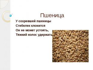 Пшеница У созревшей пшеницы Стебелек клонится Он не может устоять, Тяжкий колос