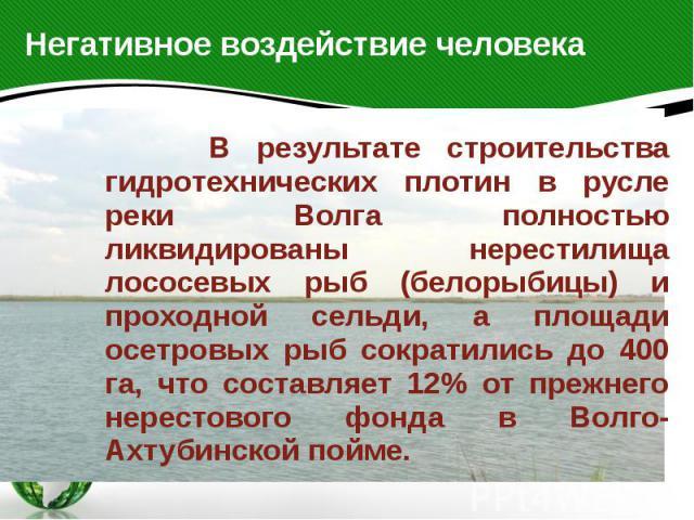 Негативное воздействие человека В результате строительства гидротехнических плотин в русле реки Волга полностью ликвидированы нерестилища лососевых рыб (белорыбицы) и проходной сельди, а площади осетровых рыб сократились до 400 га, что составляет 12…